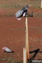 07 zwierz - Outback - papugi