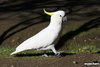 08 zwierz - GOR - papuga