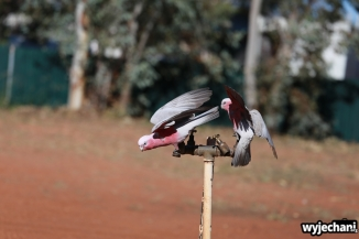 08 zwierz - Outback - papugi