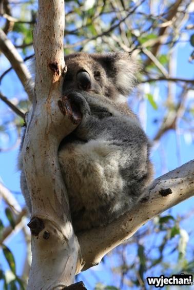 09 zwierz - GOR - koala