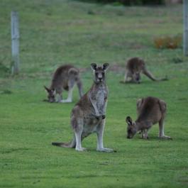 10 zwierz - GOR - kangur