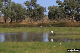 11 zwierz - Camooweal - ptaki