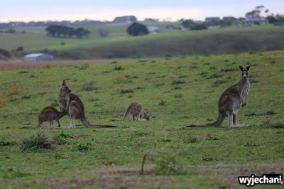 11 zwierz - GOR - kangur