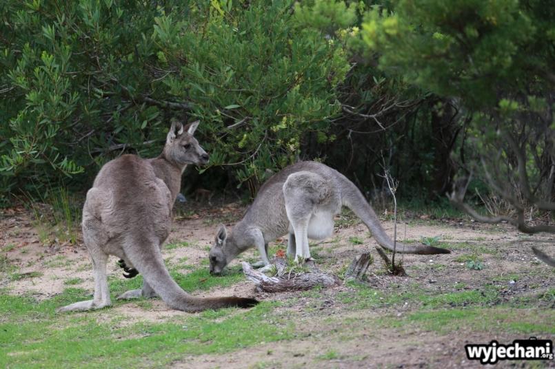 12 zwierz - GOR - kangur