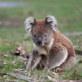 13 zwierz - Annya Camp - koala