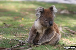14 zwierz - Annya Camp - koala