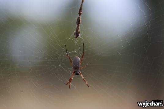 14 zwierz - Porcupine Gorge NP - pajak