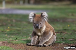 15 zwierz - Annya Camp - koala
