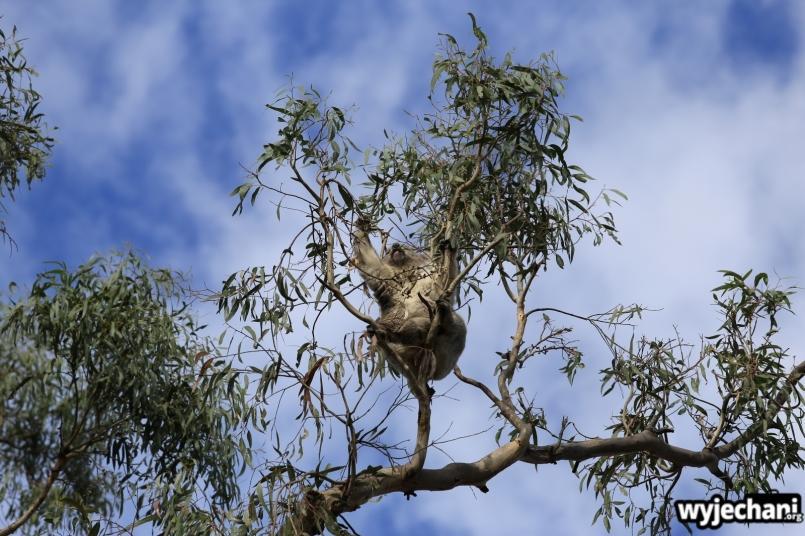 16 zwierz - Annya Camp - koala