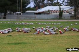 18 zwierz - Mt Pleasant - papuga