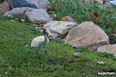 18 zwierz - Townsville - ptak