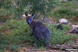 19 zwierz - Mount Remarkable NP - wallaby