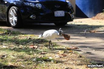19 zwierz - Townsville - ptak