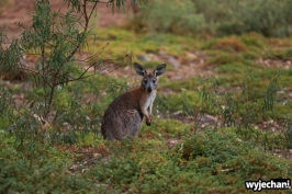 20 zwierz - Mount Remarkable NP - wallaby