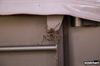 21 zwierz - Townsville - pajak