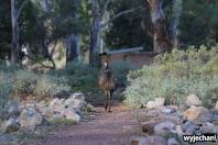24 zwierz - Mount Remarkable NP - emu