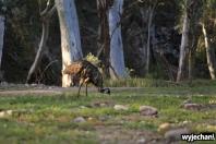 25 zwierz - Mount Remarkable NP - emu