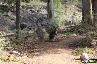 26 zwierz - Mount Remarkable NP - kangur