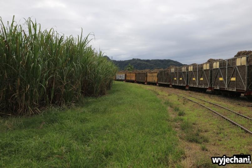08 Kuranda - okolice - plantacja trzciny cukrowej