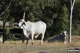 14 Eungella NP - zwierz - krowa