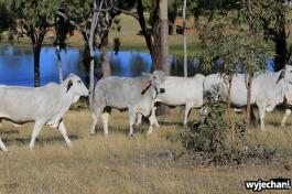 15 Eungella NP - zwierz - krowa