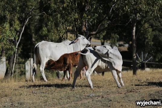 16 Eungella NP - zwierz - krowa