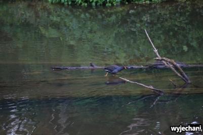 17 Eungella NP - zwierz - ptak