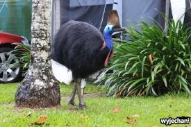 23 Etty Bay - zwierz - kazuar