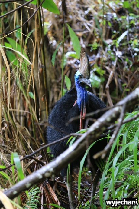26 Etty Bay - zwierz - kazuar