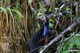 27 Etty Bay - zwierz - kazuar