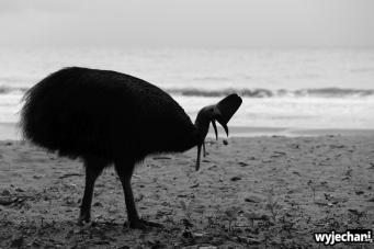 29 Etty Bay - zwierz - kazuar