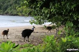 32 Etty Bay - zwierz - kazuar