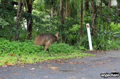 33 Etty Bay - zwierz - kazuar