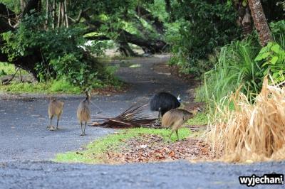 34 Etty Bay - zwierz - kazuar