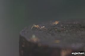 09 zwierz - zielone mrowki
