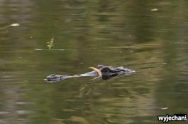 18 zwierz - krokodyl