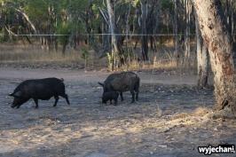 15-zwierz-swinie