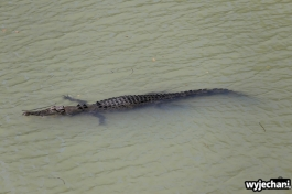 18-zwierz-krokodyl