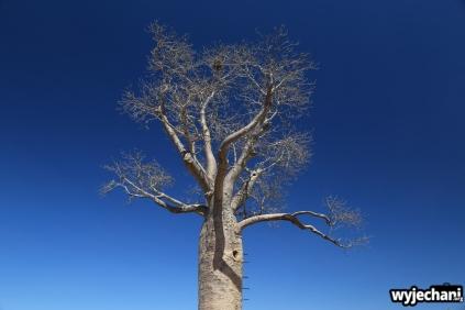 49-judbarra-gregory-np-baobab
