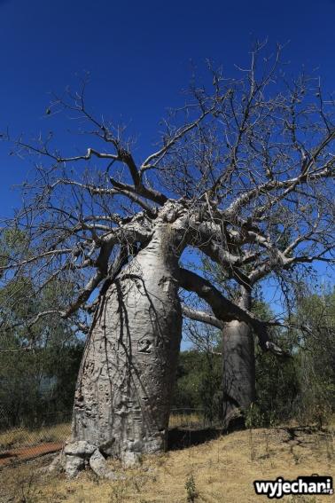 50-judbarra-gregory-np-baobab