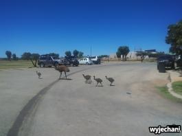 06-zwierz-emu-exmouth