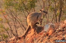 07-zwierz-kangur