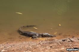 08-zwierz-krokodyl