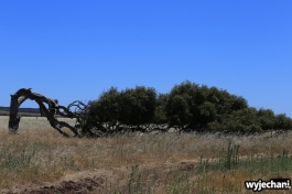 09-geraldton-the-leaning-tree-greenough