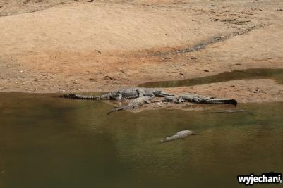 10-zwierz-krokodyl