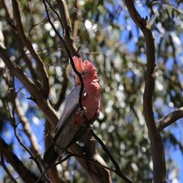 17-zwierz-papuga-coalseam-conservation-park