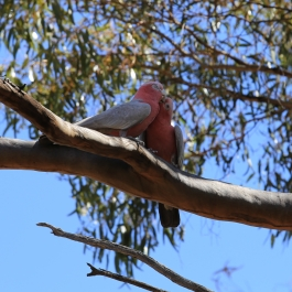 18-zwierz-papuga-coalseam-conservation-park