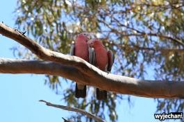 19-zwierz-papuga-coalseam-conservation-park