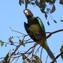 20-zwierz-papuga-coalseam-conservation-park