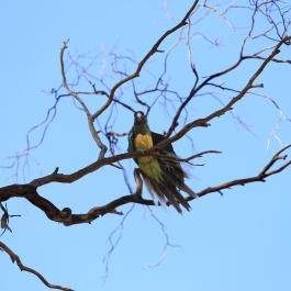 21-zwierz-papuga-coalseam-conservation-park